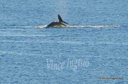 Hawaii 2016 V Whalewatching2crt